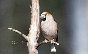 Дубонос / coccothraustescoccothraustes