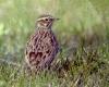 Жаворонки фото птиц