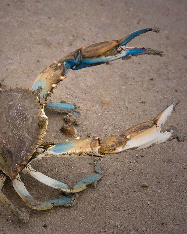 blue_crab_FHR-ICF